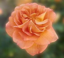 Peach Rose by Jacqueline Turton