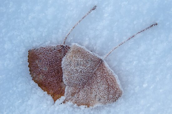 Aspen Leaves in Snow by Photopa
