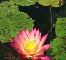 Pink Lilly Pond Flower by Ratchet-Wrench