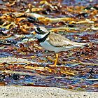 Ringed Plover on Slaggan Beach by Jamie  Green