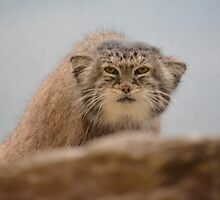 Pallas Cat by trinilab