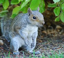 Inquisitive Squirrel by justbmac