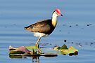 Comb-crested Jacana_Fogg Dam NT by Alwyn Simple