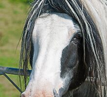 Heavy Horse Close Up by Nick Jenkins