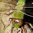 Green Darner by DigitallyStill