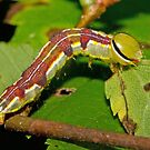 Variable Oakleaf Moth Caterpillar  by DigitallyStill