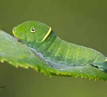 Canadian Tiger Swallowtail Caterpillar by DigitallyStill