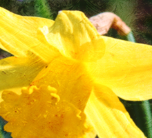 Oil painting style yellow daffodil flower photography.  Sticker