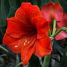 Ruby Red Amaryllis  by Georgia Mizuleva