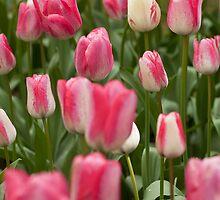 Tulips ........ by Nina  Matthews Photography