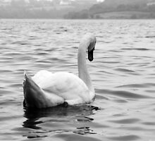 Elegant swan on water by dulciemaephotos