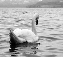 Elegant swan on water by dulciemaephotos