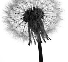 Dandelion Natures Clock by sasshaw