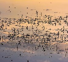 Pond Plant Silhoutte by Reese Ferrier