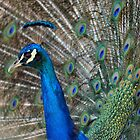 Peacock 1 by Bami
