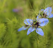 Love in a mist. Nigella damascena. by Jeanette Varcoe.