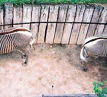 Zebra Love by Zuzana Vajdova