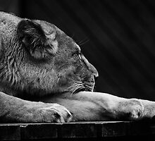 Sleeping Lion by liberthine01