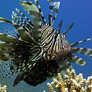 Lion fish, Egypt by Miguel De Freitas