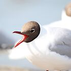 Blackheaded Gull by melbertmole