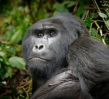 portraet of a silverback mountain gorilla, Bwindi, Uganda by travel4pictures