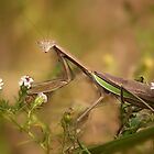 Praying Mantis by Beth Mason
