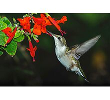 Hummingbird on Salvia Photographic Print