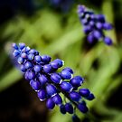 Blue Buds, Squared by EdwardKay