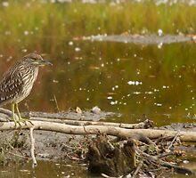 Green Heron - Ottawa, ON by Josef Pittner
