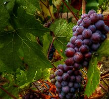 Yes I Dew ~ Grapes ~ by Charles & Patricia   Harkins ~ Picture Oregon