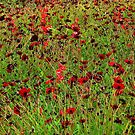 Hamburg. Poppies at the International Garden Show by Igor Pozdnyakov