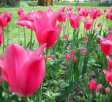 Tulips Tulips Tulips by Vitta