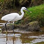 Little Egret by VoluntaryRanger