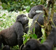 mountain gorillas by travel4pictures
