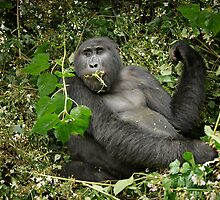 eating mountain gorilla, Gorilla beringei beringei by travel4pictures