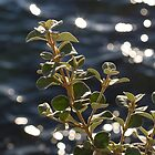 sunshine on the water and leaves by Justine Gordon