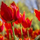 Sunrise Tulip by yolanda