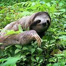 Brown-throated Three-toed Sloth by Robbie Labanowski