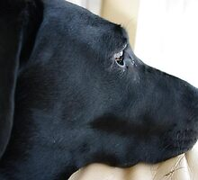 Black lab by blwalsh1