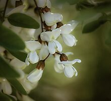 Black Locust by Pete5