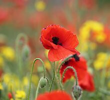 Poppies by Pat Millar