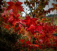 Just A Bunch Of Reds ~ Leaves Fall Colors ~ by Charles & Patricia   Harkins ~ Picture Oregon