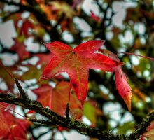 Hang Them High ~ Leaves Fall Colors ~ by Charles & Patricia   Harkins ~ Picture Oregon