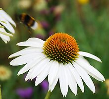 Echinacea Purpurea with Bee 4 by jojobob