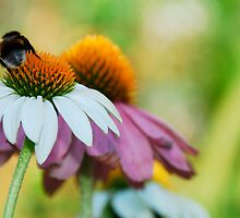 Echinacea Purpurea with Bee 6 by jojobob