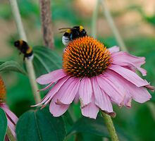 Echinacea Purpurea with Bees 1 by jojobob