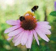 Echinacea Purpurea with Bees 4 by jojobob