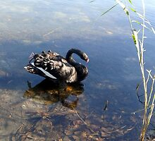 Black Swan on the Lake by MardiGCalero