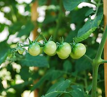 Green Tomatoes on the Vine by jojobob