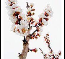 Apricot Flowers by Sama-creations